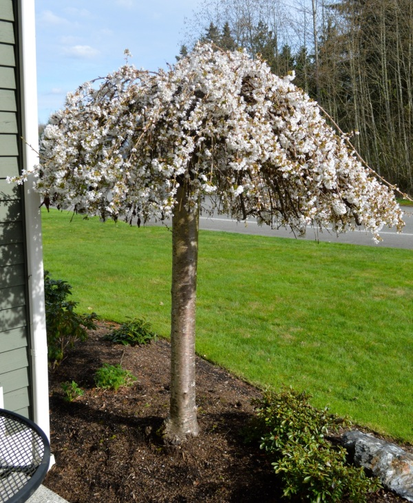 whiteblossomstree